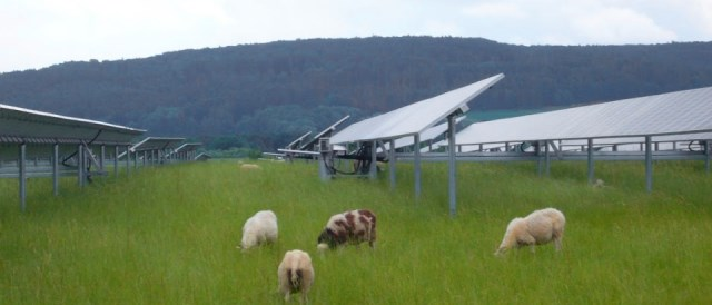 sheep under photovoltaic panels