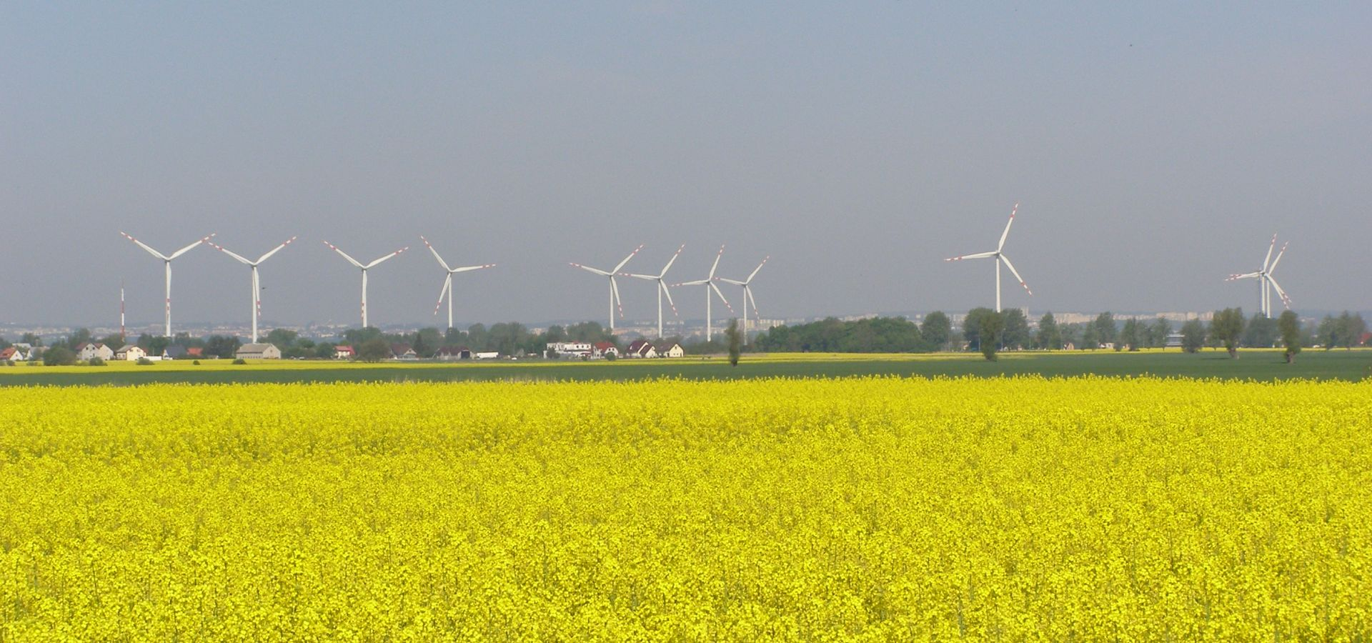 yellow rapeseed flowers with wind turbines behind at the Polish town of Koszwały