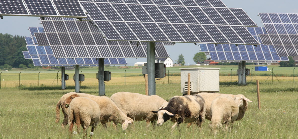 Sheep graze in a meadow with solar panels