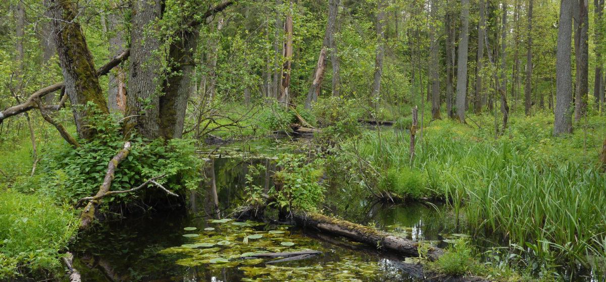 białowieża forest in Poland